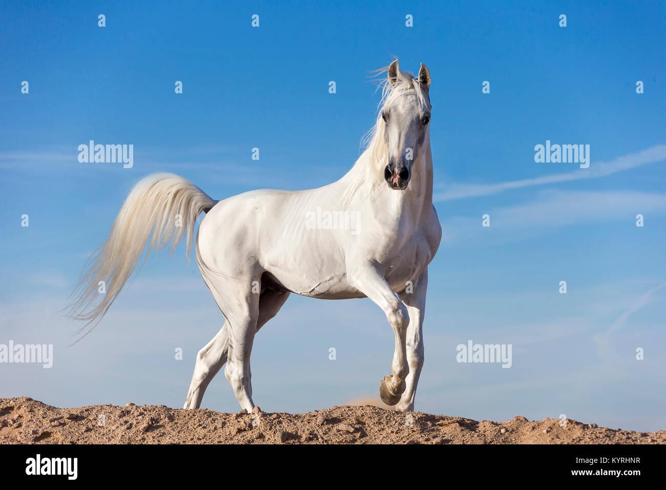 Arabian Horse. Gray stallion walking on a dune. Egypt. Stock Photo