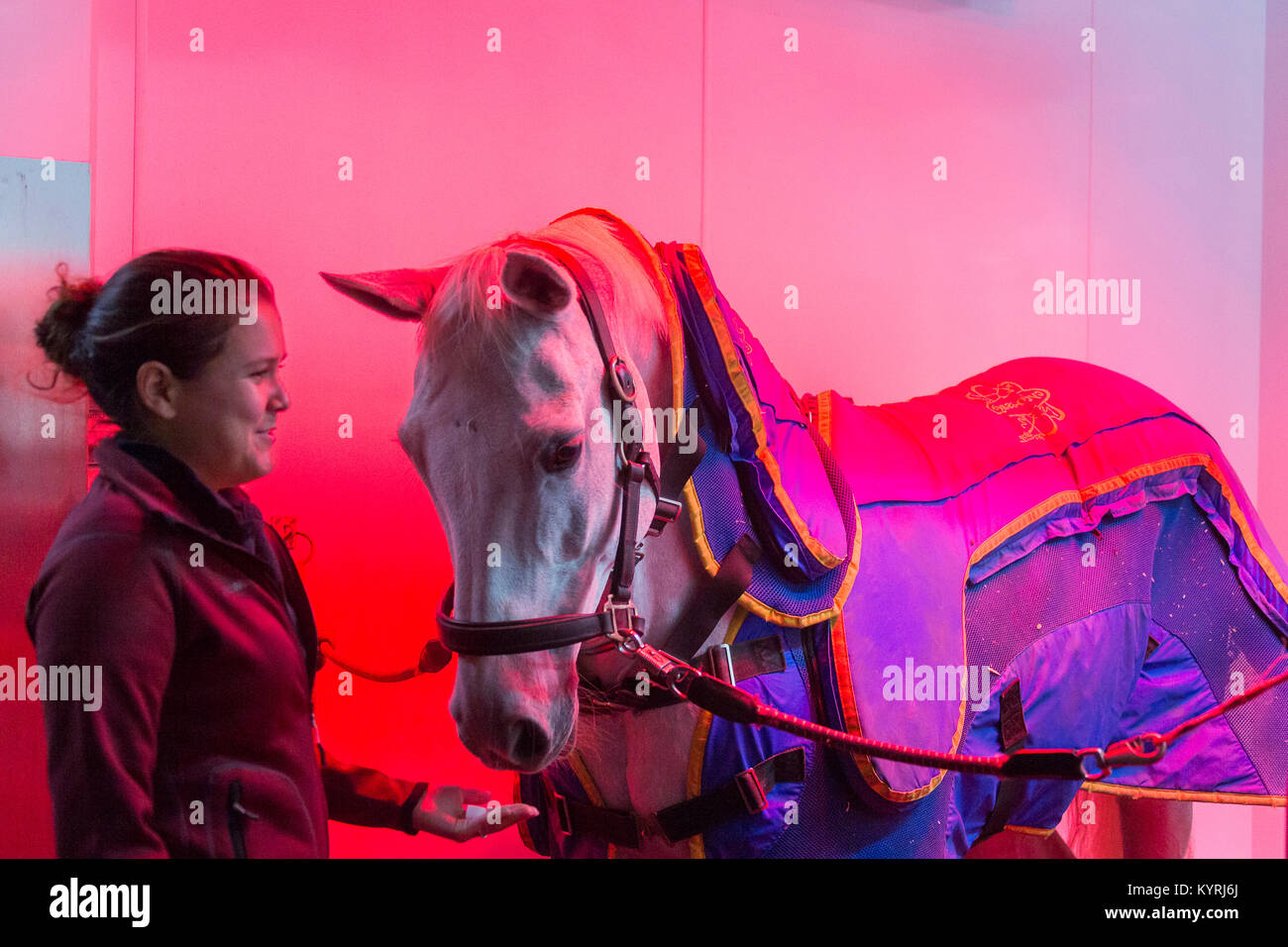 Hanoverian Horse. Gray mare in a horse solarium, wearing a blanket for magnetic therapy. Great Britain - Stock Image