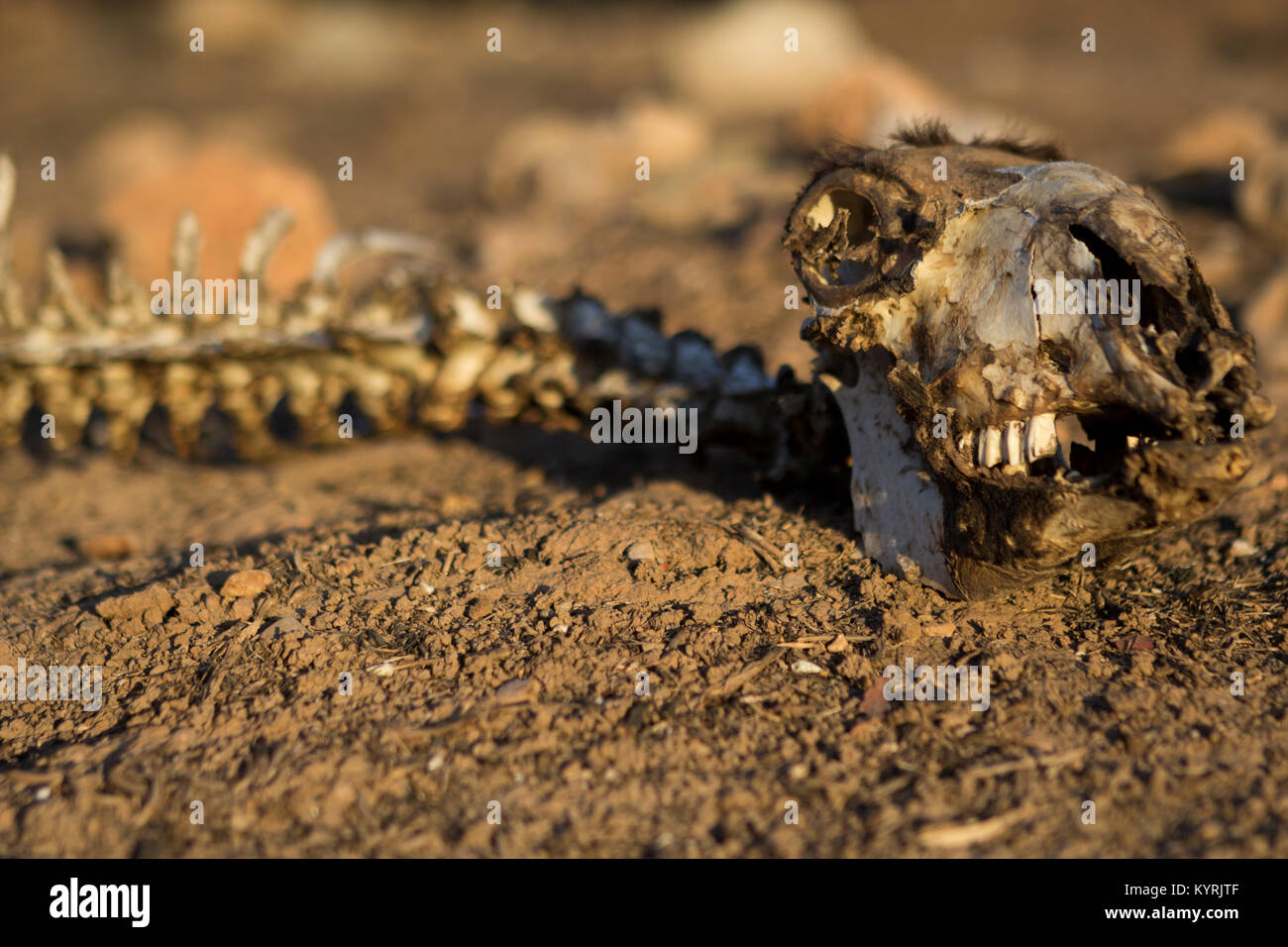 Animal skeleton in natural light, grim, depressing, powerful image of the effects of climate change and environmental - Stock Image