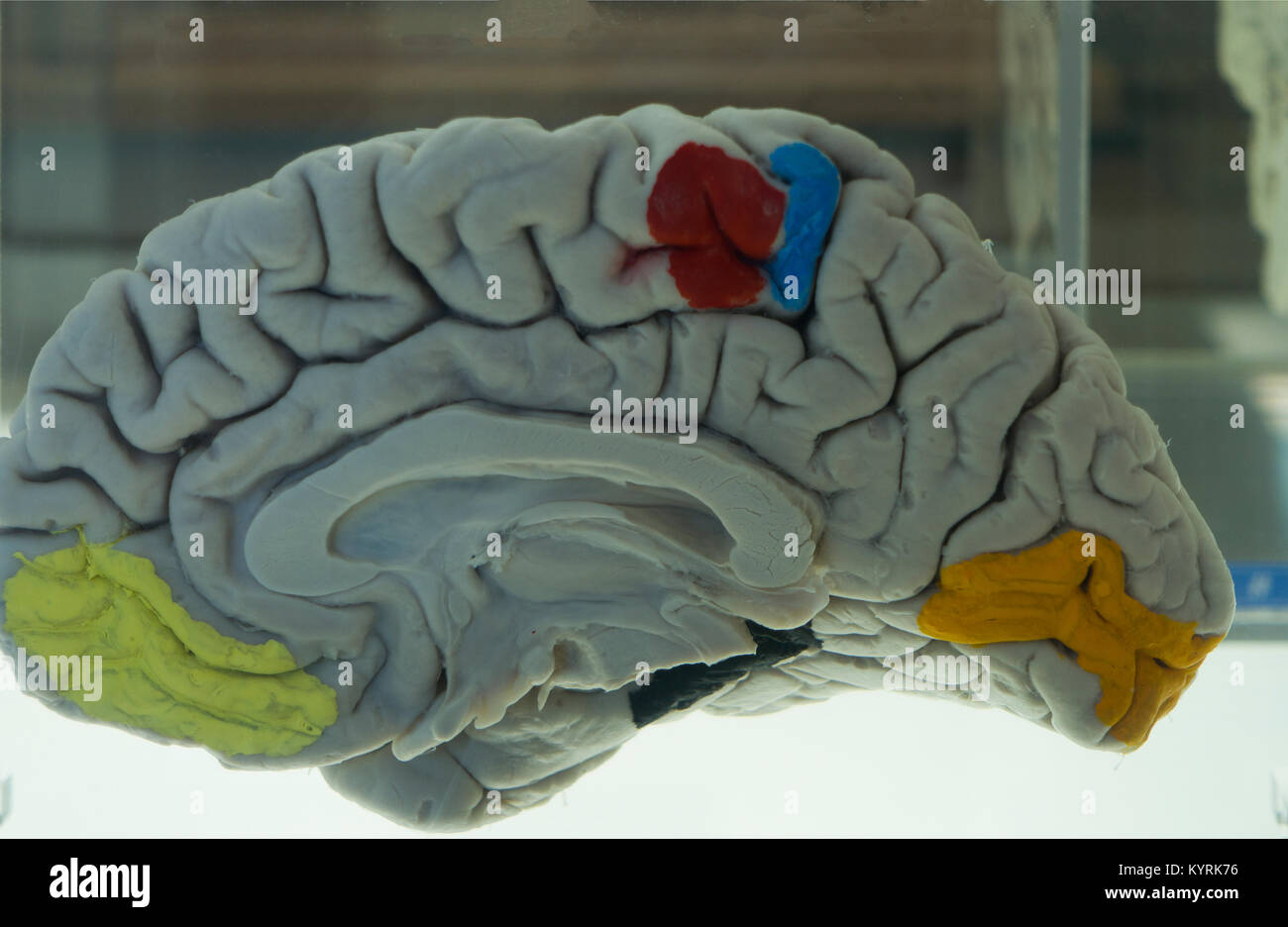 Brain museum university at Buffalo NY - Stock Image