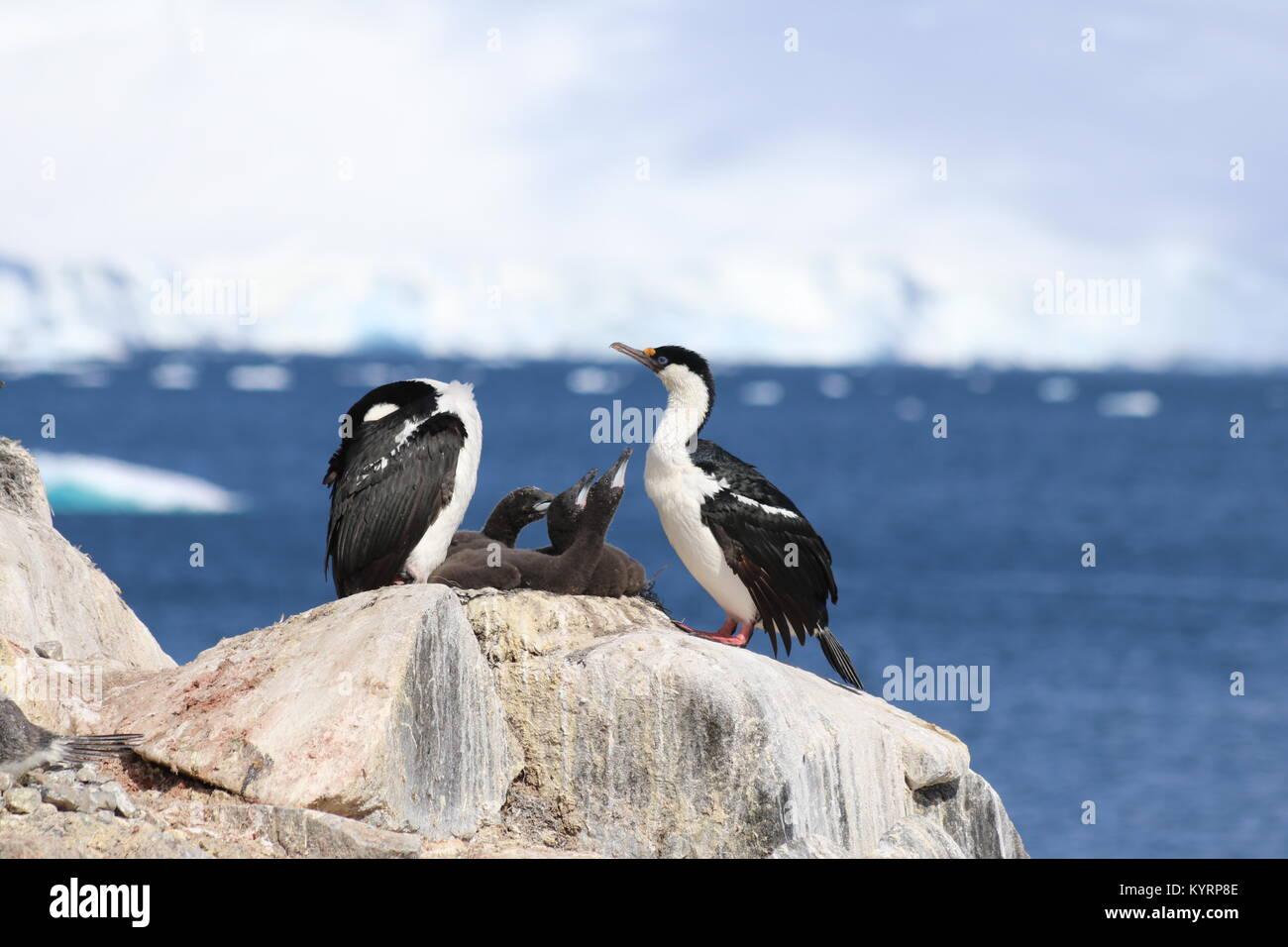 Birds in Antarctica - Stock Image
