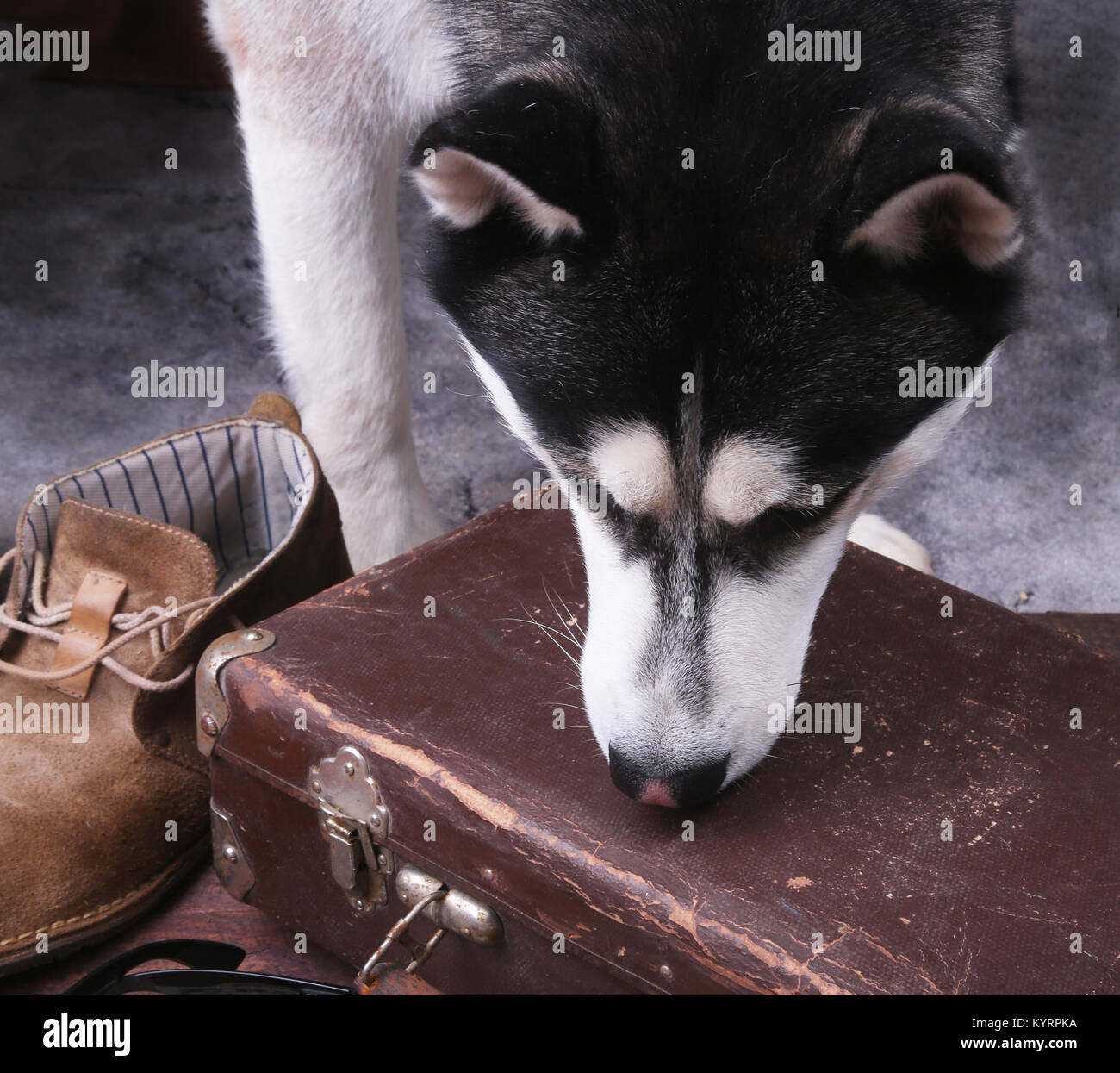 Dog sniffs out drugs or bomb in a luggage. - Stock Image
