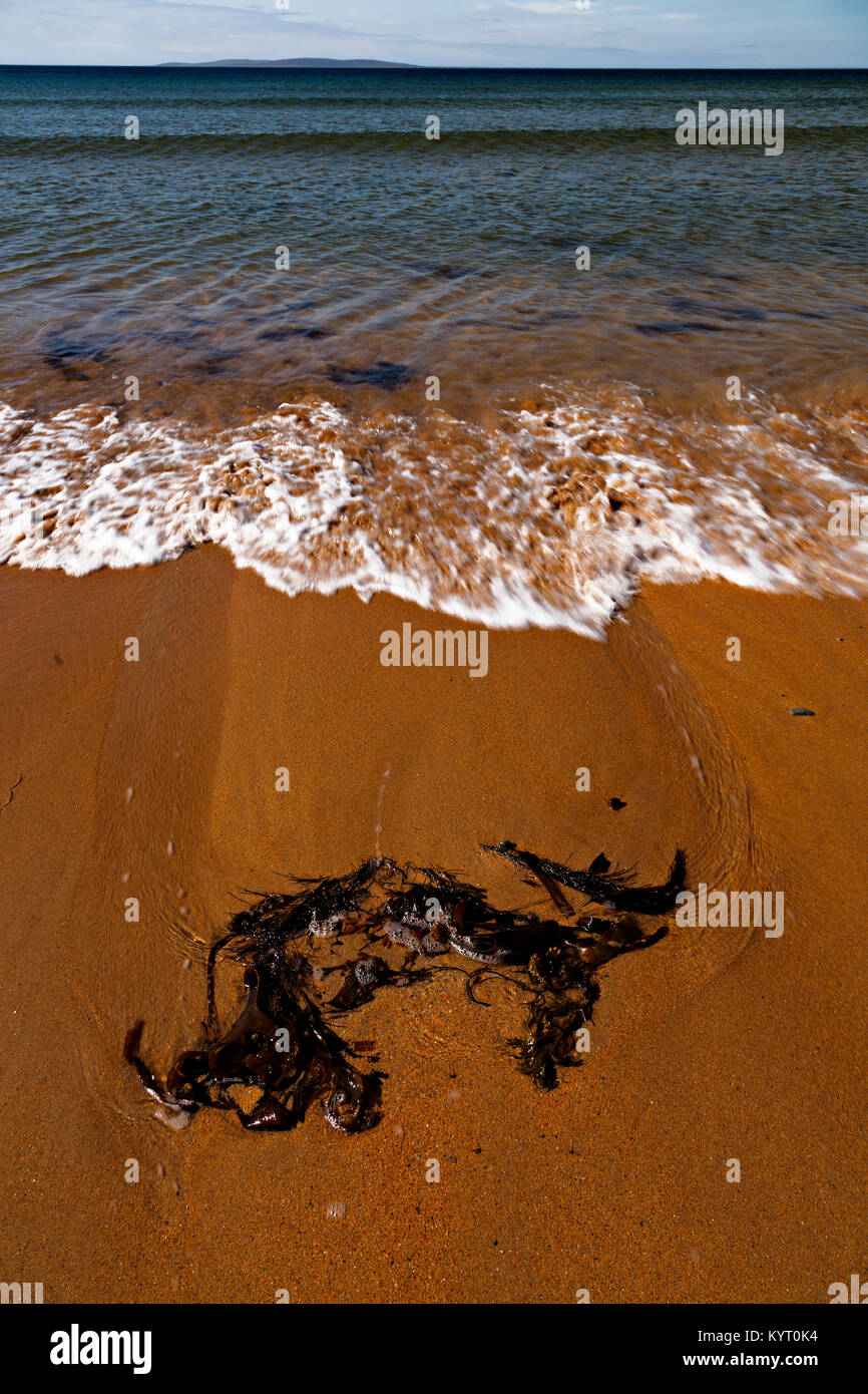 A piece of seaweed washed up on the sandy beach at Dugort, Achill Island on the Irish coast - Stock Image
