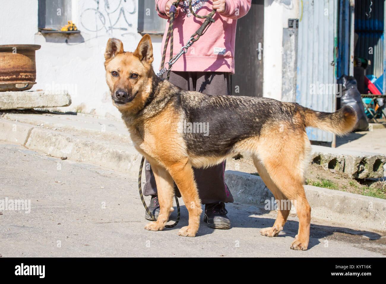 Abused German Shepherd hybrid dog in a shelter - Stock Image