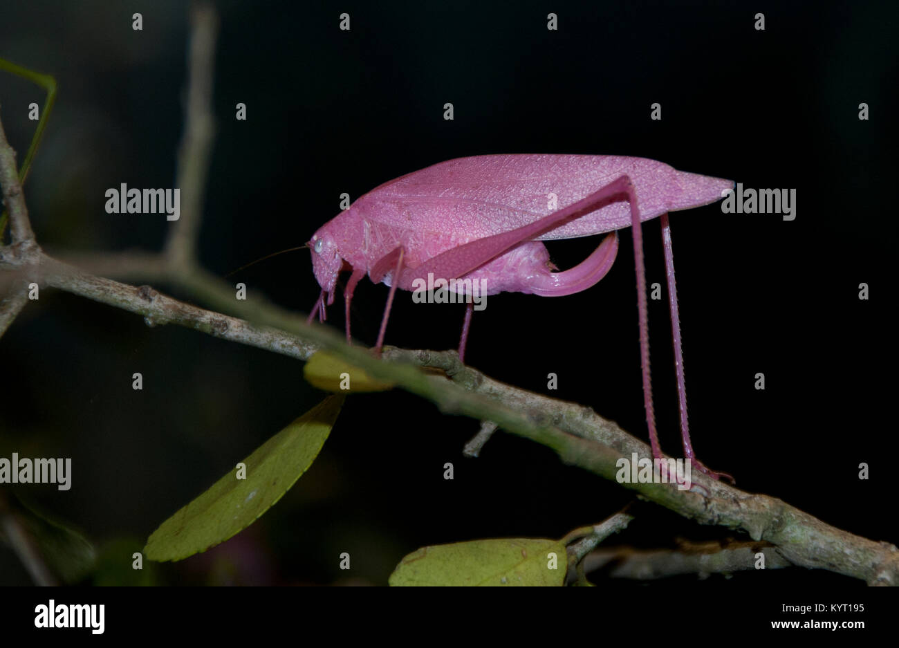 Oblong Winged Katydid - Stock Image