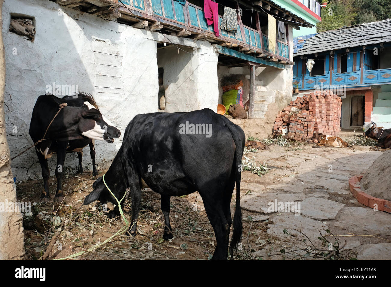 Cattle in the yard of a smallholding in the Himalayan foothills of Northern India Stock Photo