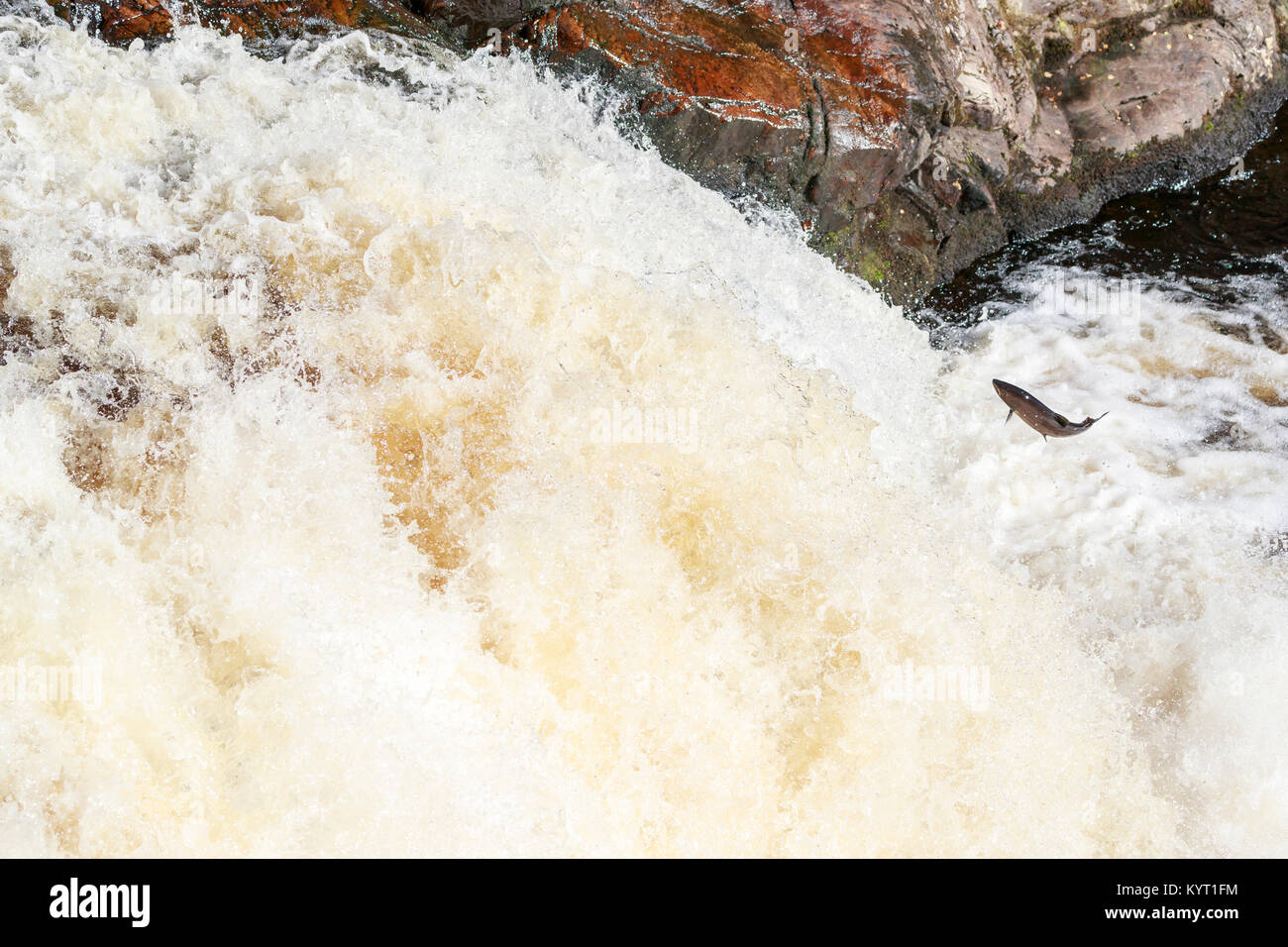 The mighty atlantic salmon travelling to spawning grounds during the summer in the Scottish highland. The salmon - Stock Image