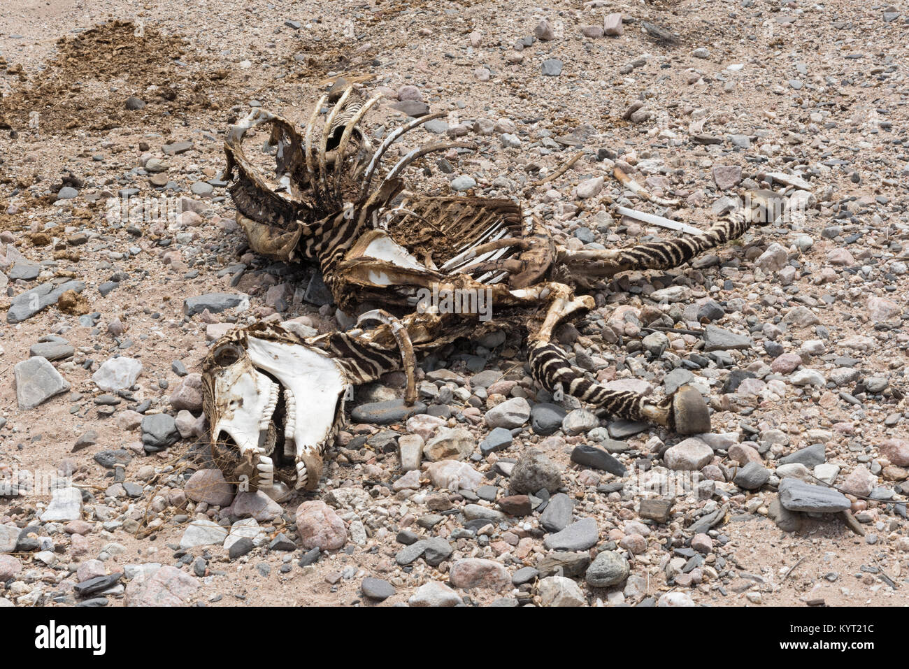 Skeleton of a zebra in a dry riverbed in Namibia - Stock Image