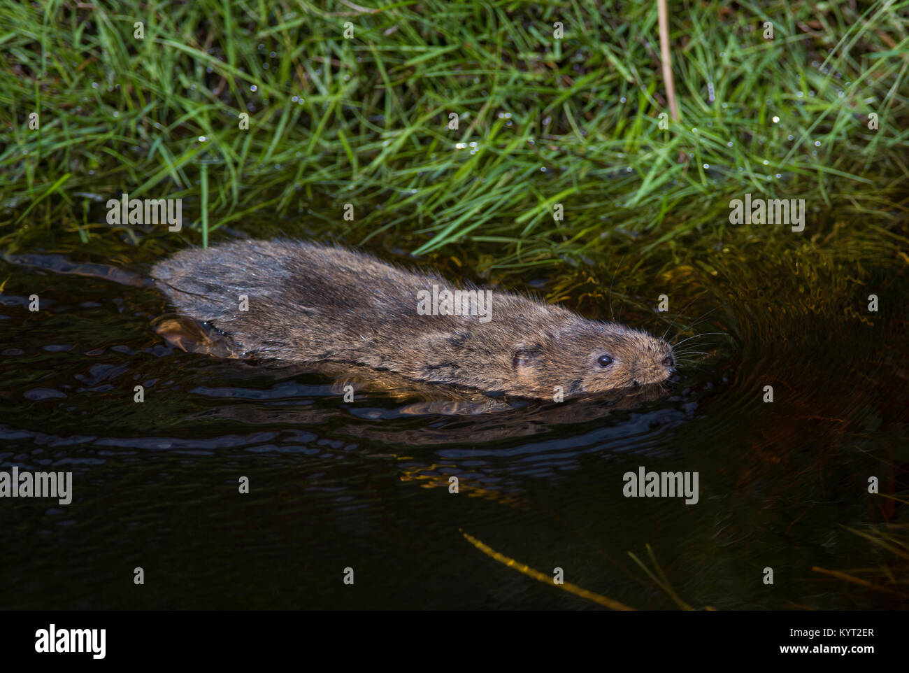 European Water Vole Arvicola amphibius swimming in a stream in the Pennines in Northern England UK. - Stock Image
