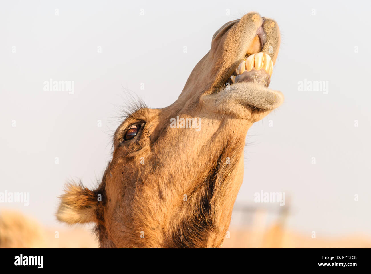 Closeup of a camel's lower teeth - Stock Image