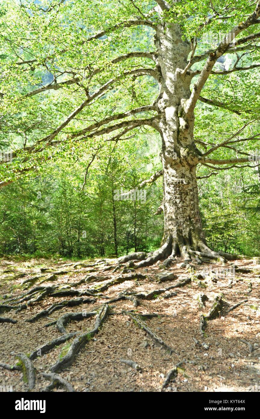 Big tree or large tree on the forest - Stock Image
