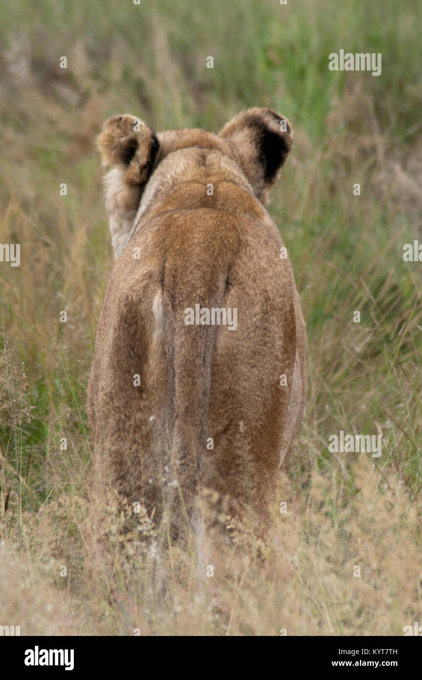 https://c8.alamy.com/comp/KYT7TH/female-lion-back-view-KYT7TH.jpg