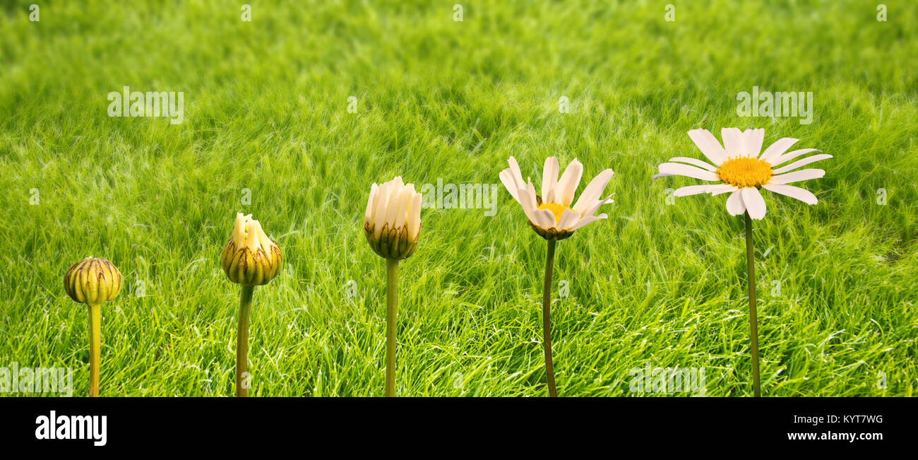Stages of growth and flowering of a daisy, green grass background, life and transformation concept - Stock Image
