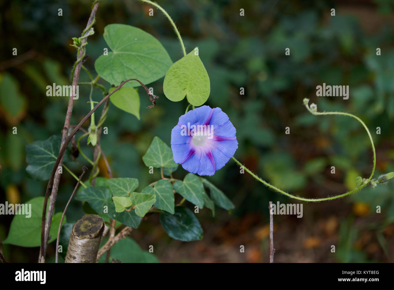 Single morning glory growing up a branch - Stock Image