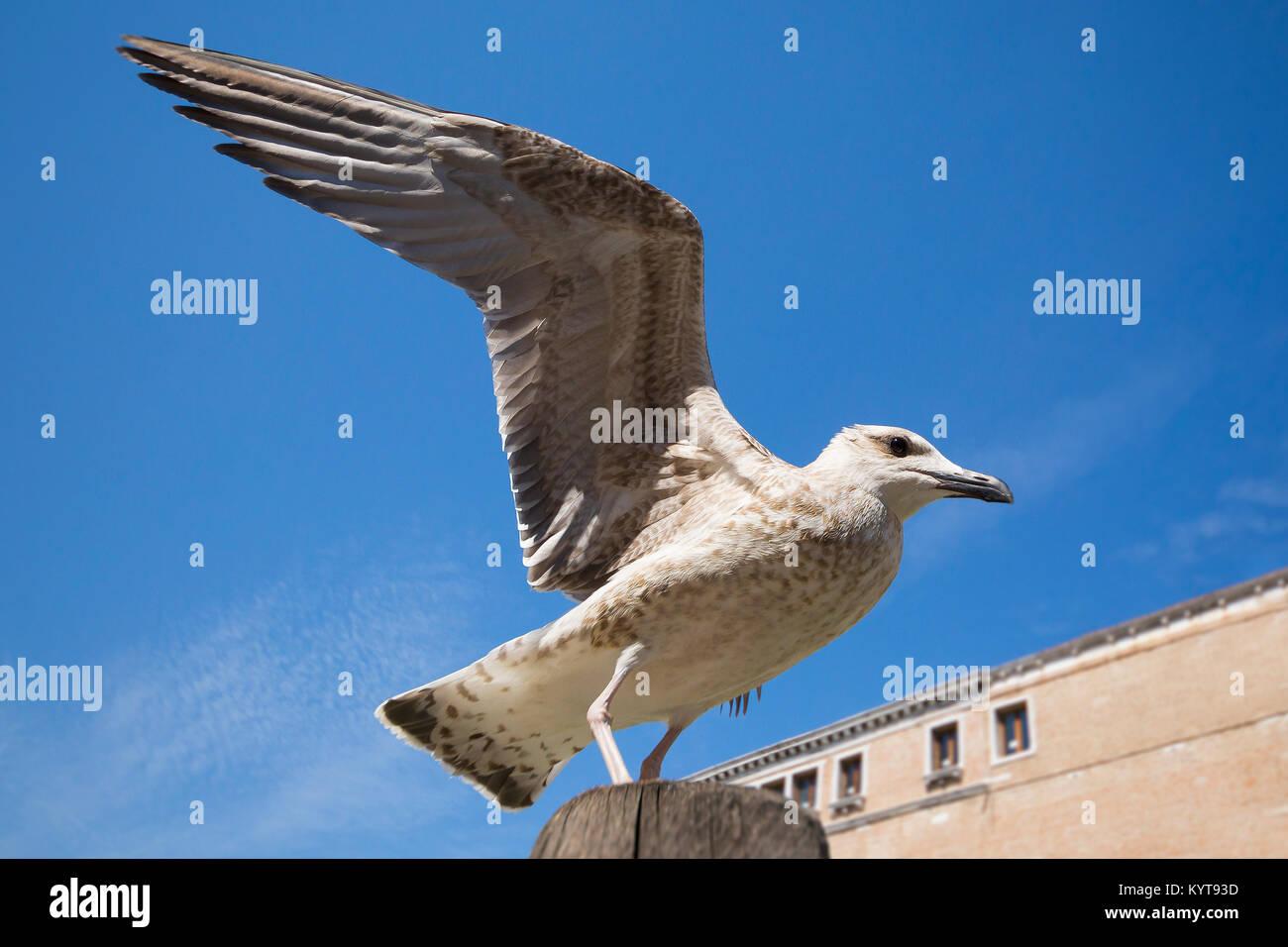 Seagull in  Venice - Stock Image