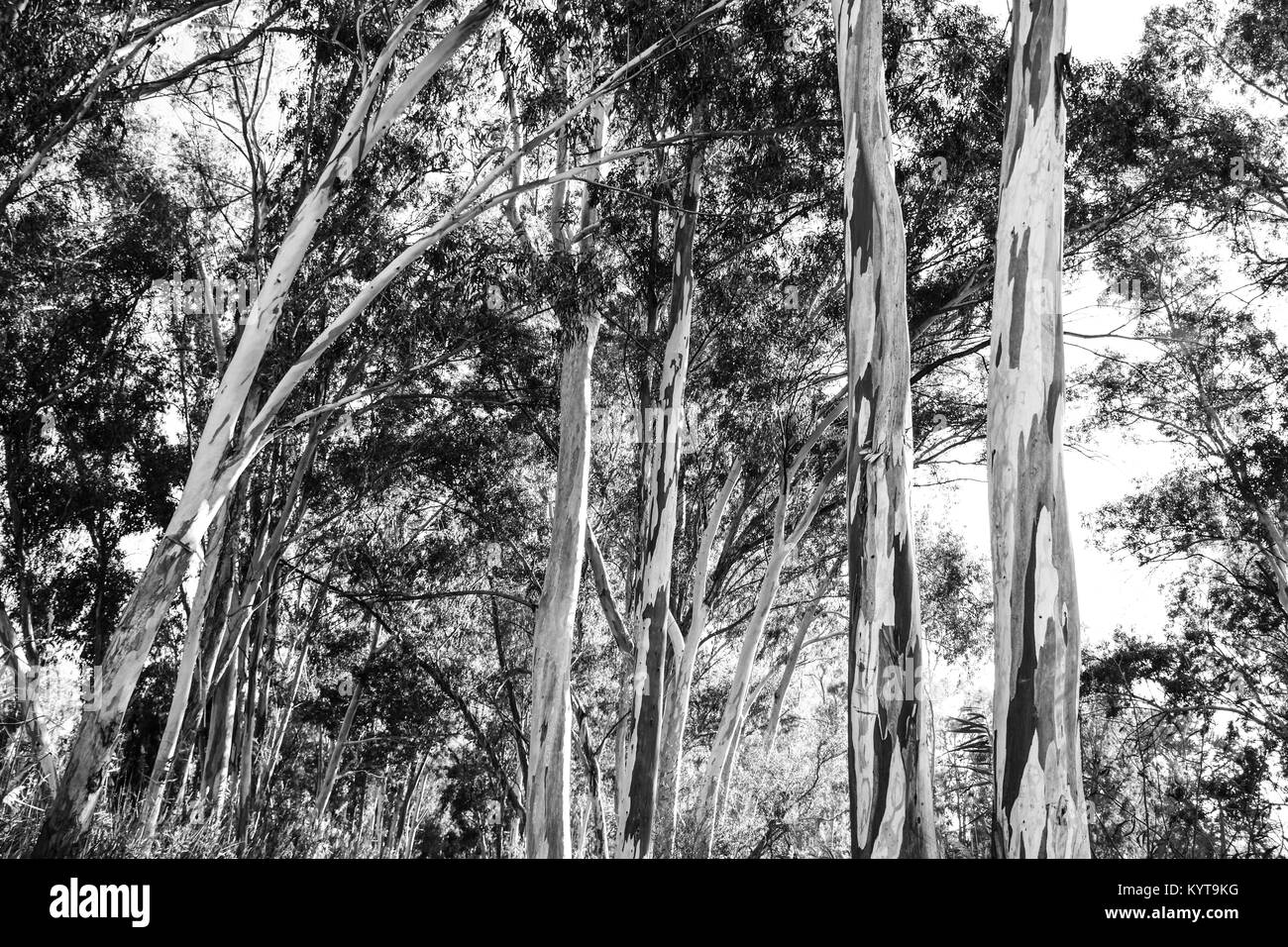 Eucalyptus Globulus Tree - Stock Image