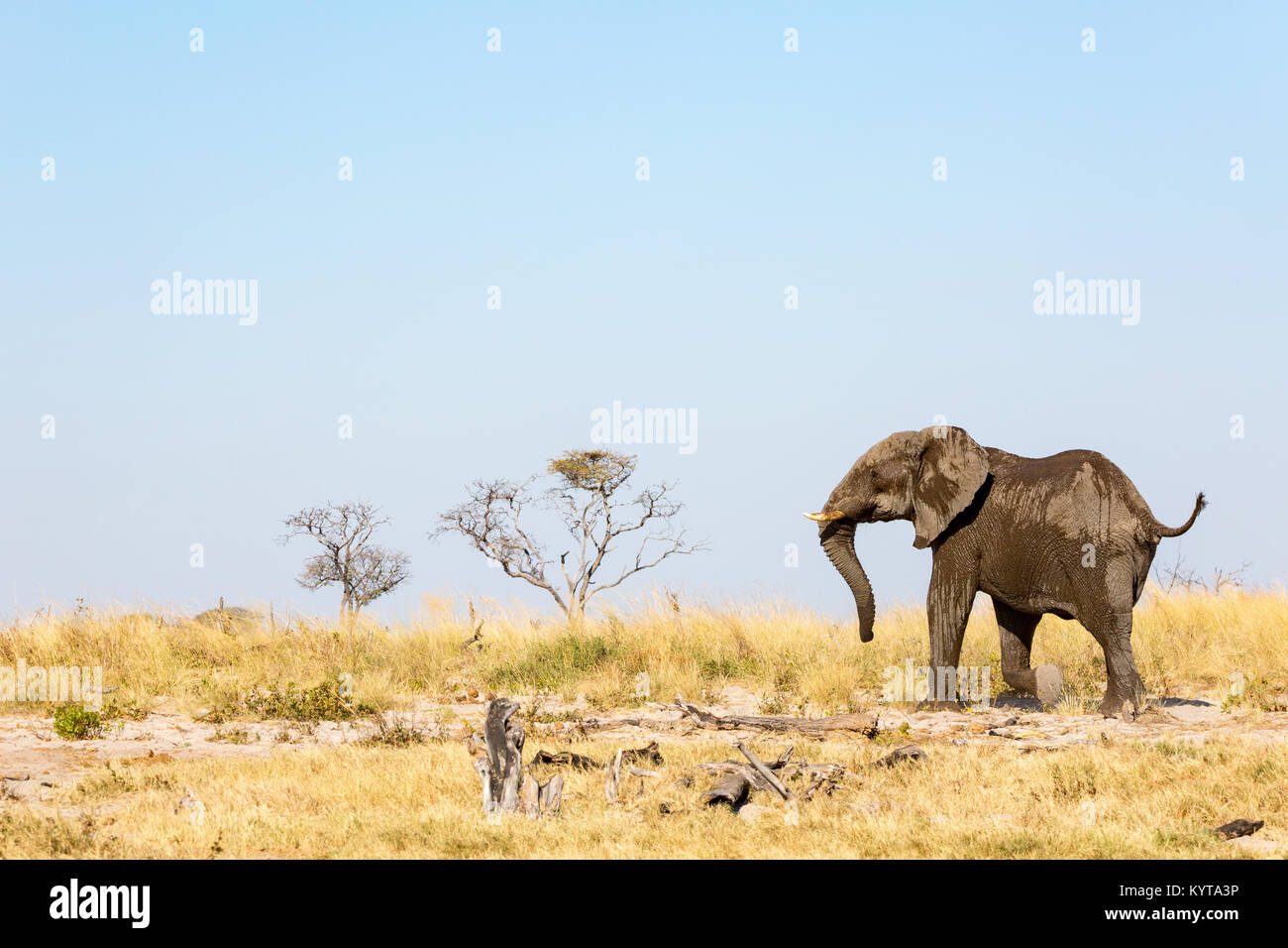 Lonely Elephant during a Safari in Botswana, Africa - Stock Image
