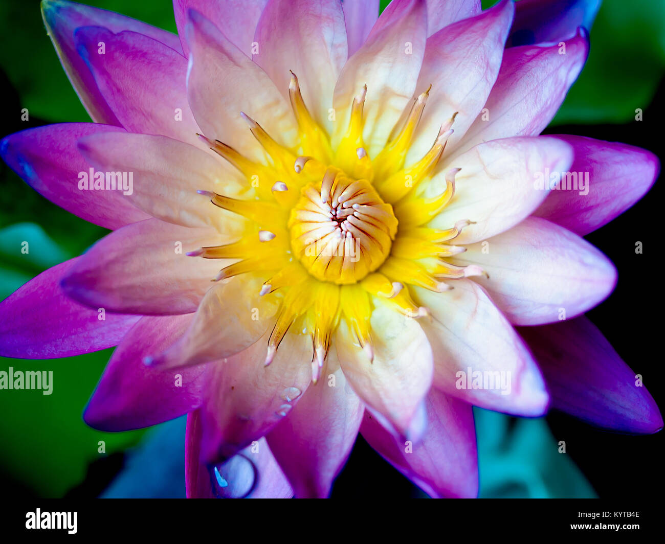 Lotus Flower With Beautiful Colors Stock Photo 172024622 Alamy