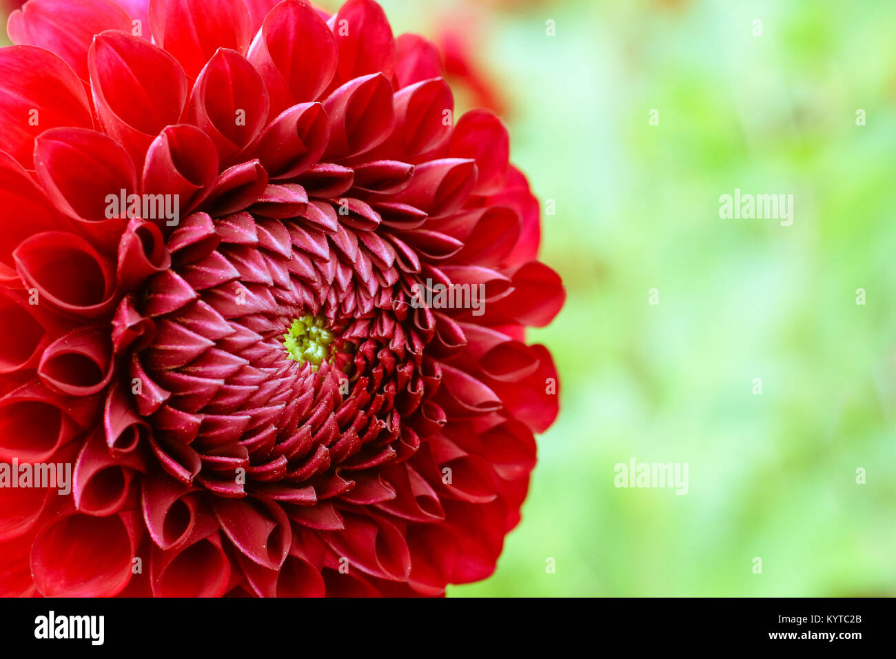 Red dahlia fresh flower details macro photography. Photo in color ...