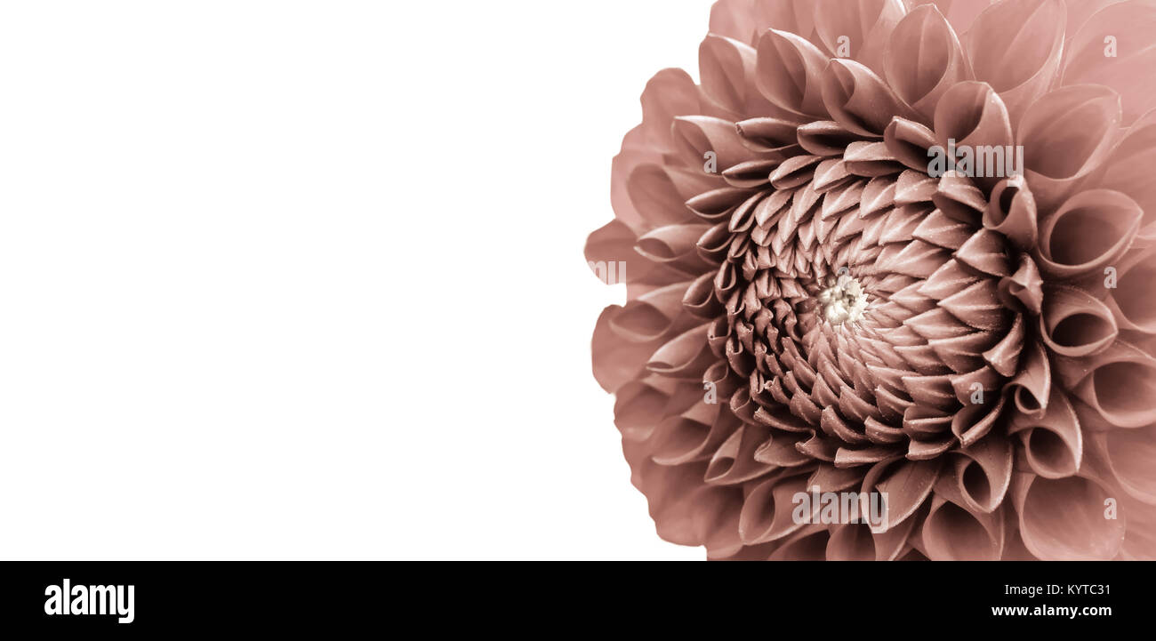 Dahlia flower details macro photography as border frame. Photo with faded colors and sepia tones emphasizing the - Stock Image