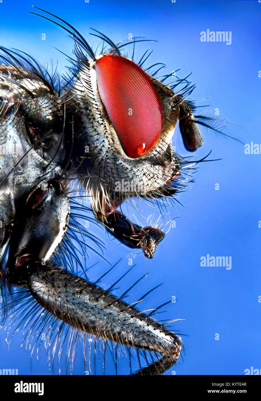 Flesh Fly side view detailing the compound eye, antenna, head and foreleg in ultra-close-up with a large depth of - Stock Image