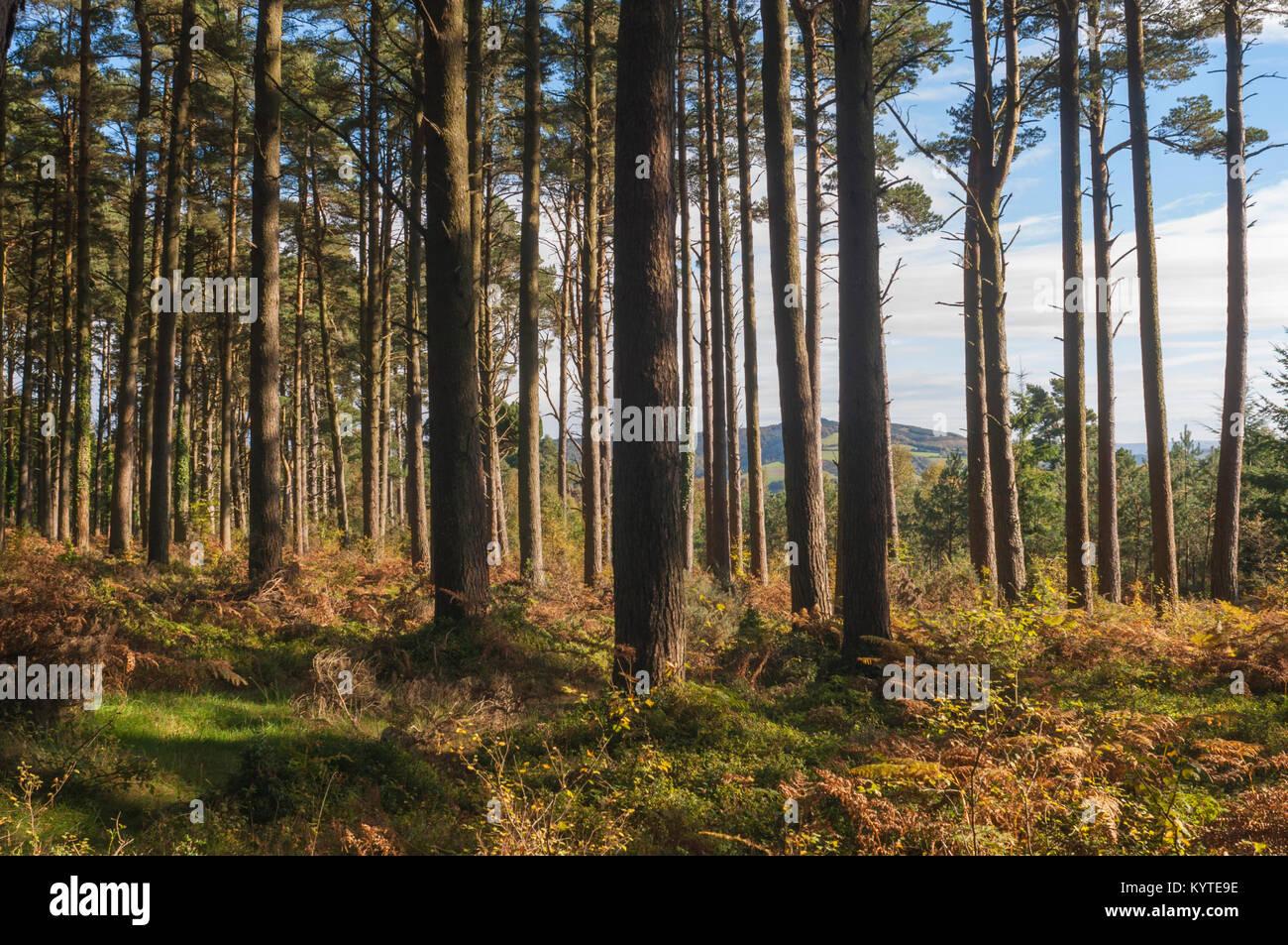 Autumn sunlight in pine forest, Exmoor, Somerset, UK - John Gollop - Stock Image