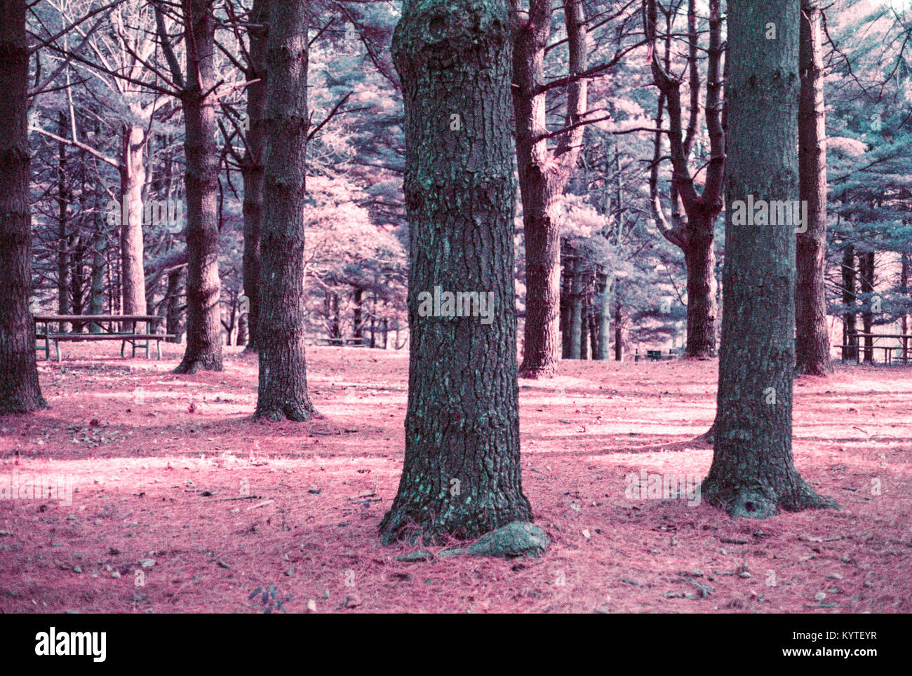 Surreal purple forest filled with rees - Stock Image