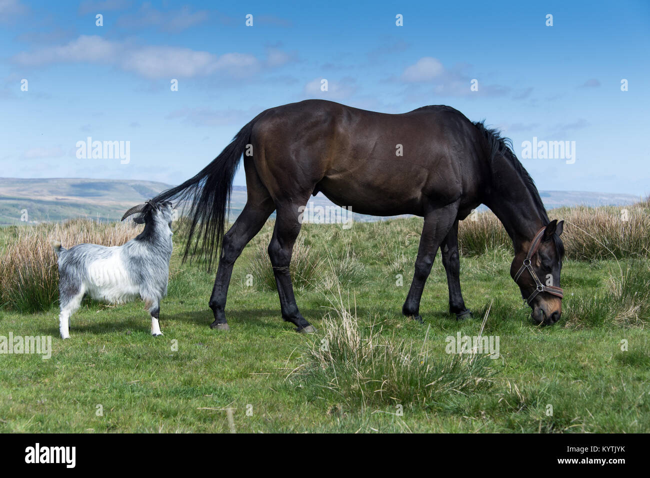 Throughbred  ex racehorse in paddock with companion goat. North Yorkshire, UK. - Stock Image