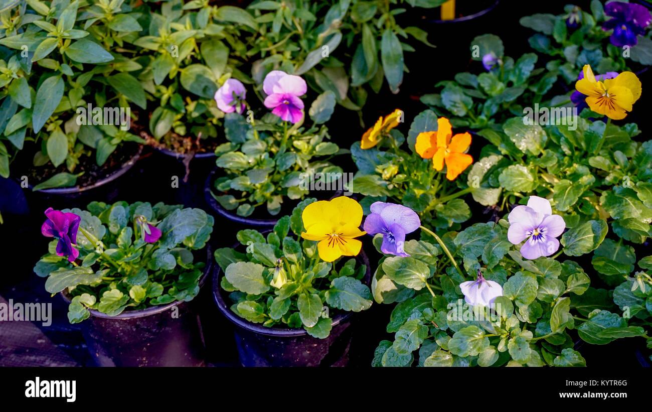 Pansy flower plants in flowerpots. Stock Photo