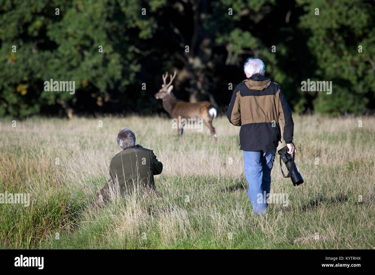 Wildlife photographers / nature photographer approaching Sika deer / spotted deer/ Japanese deer (Cervus nippon) - Stock Image