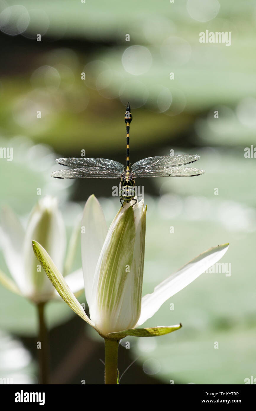 Water lily flower bali indonesia stock photos water lily flower dragonfly sits on a water lily in a pond which is in hindi temple goa izmirmasajfo