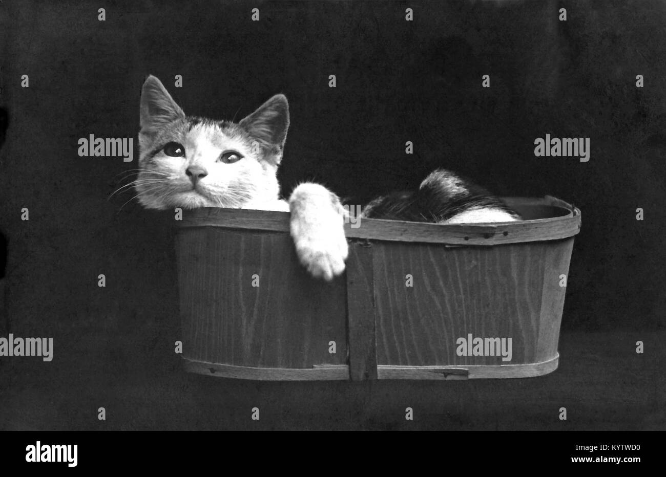 1906 photographic postcard of a kitten trying to fit into a basket. - Stock Image