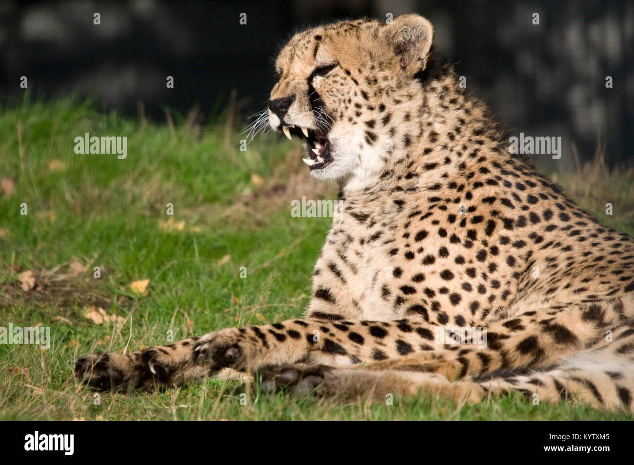 A Snarling Cheetah - Stock Image