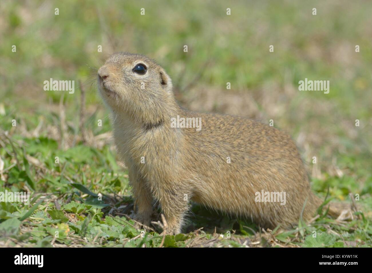 European Ground Squirrel or Souslik (Spermophilus  citellus) in Springtime, searching for Enemies - Stock Image