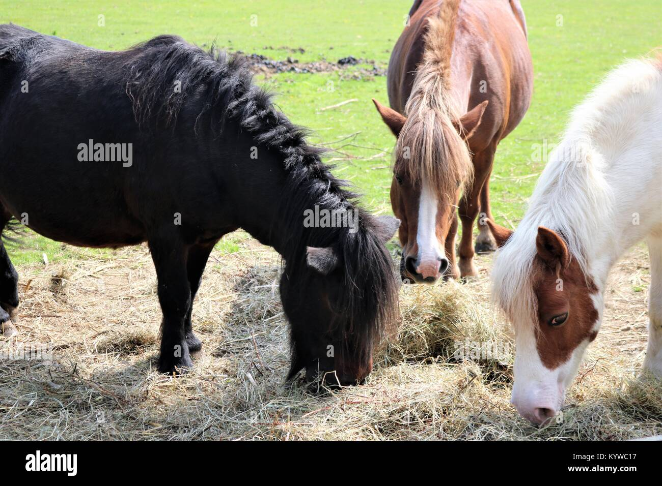 Three horse eating hay in a green field - Stock Image