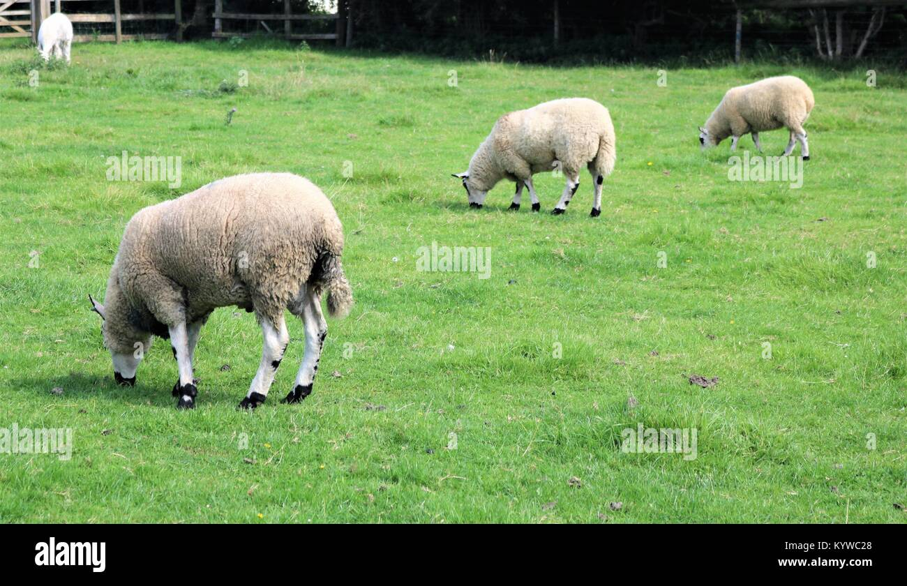 Sheep in a line grazing in a green field - Stock Image