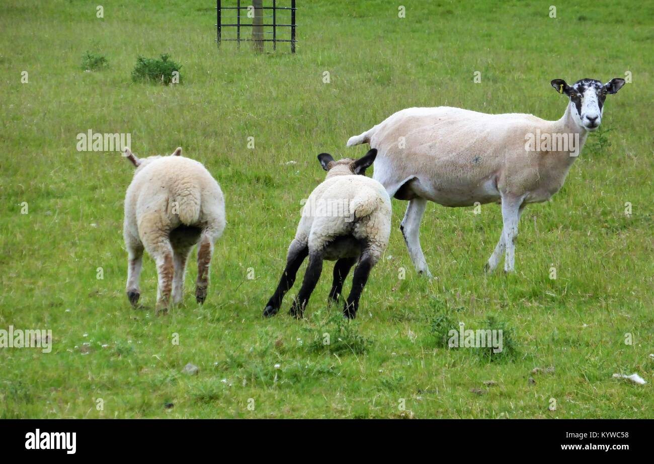 Running sheep in a green field - Stock Image