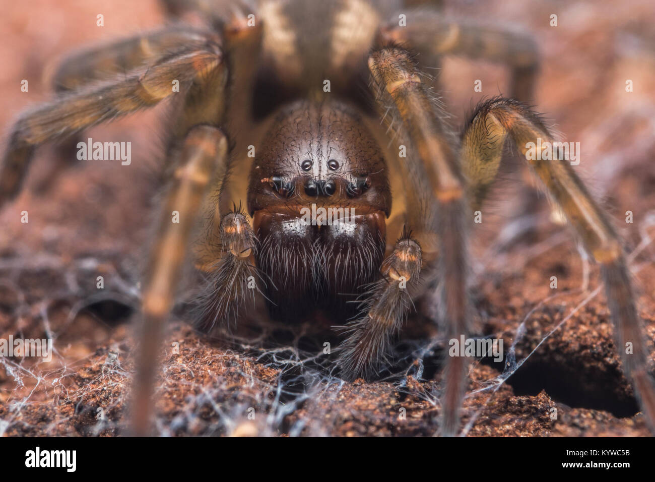 Lace-web Spider or Lace Weaver Spider (Amaurobius fenestralis). Close up macro photo of its head. Cahir, Tipperary, - Stock Image