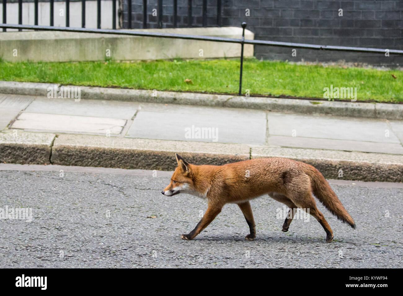 London, UK. 16th Jan, 2018. An urban fox takes a short cut through Downing Street. Credit: Mark Kerrison/Alamy Live Stock Photo