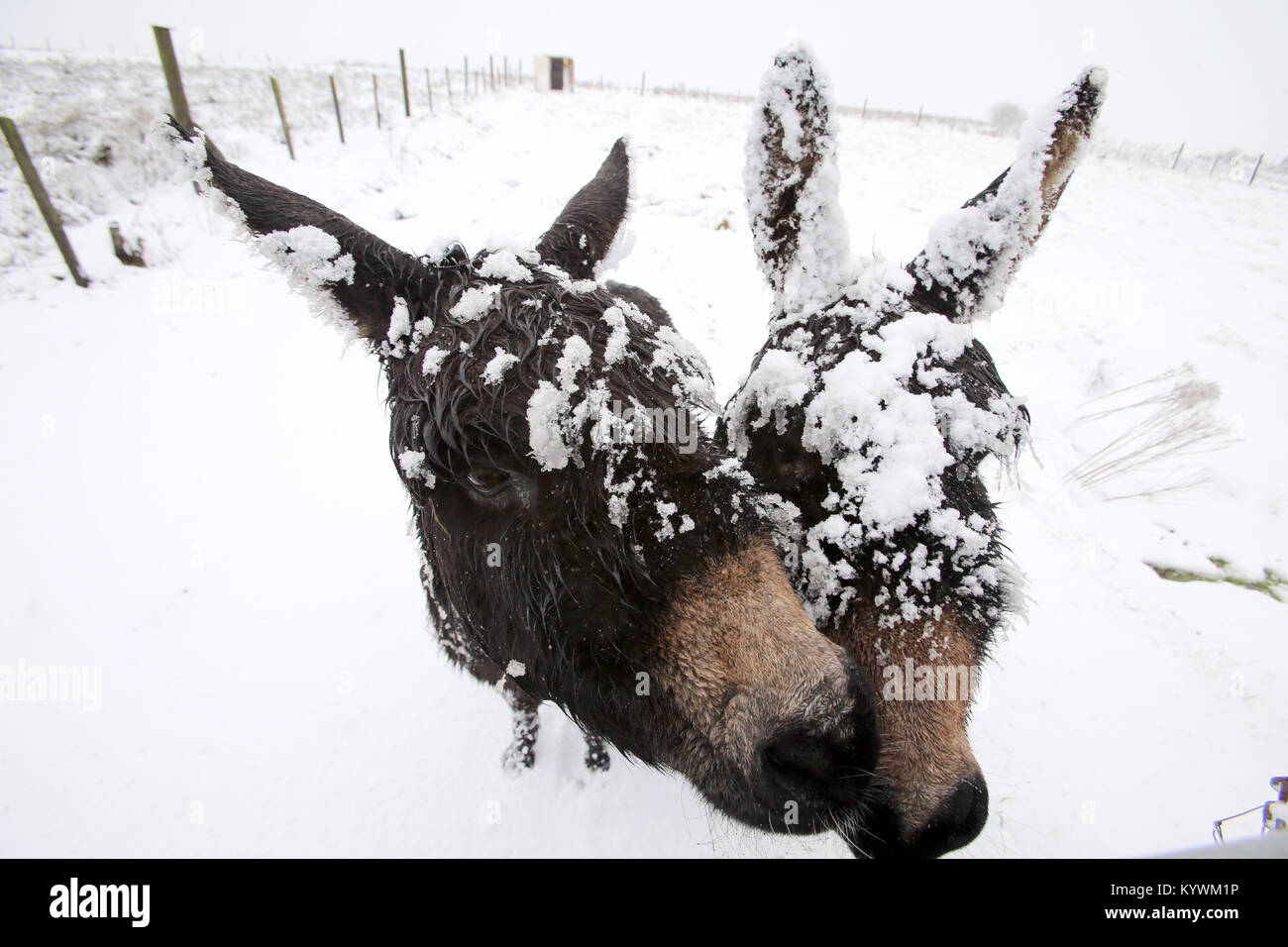 Belfast, Northern Ireland, UK. 16th Jan, 2018. A pair of Donkeys brave the winter conditions on the hills around Stock Photo