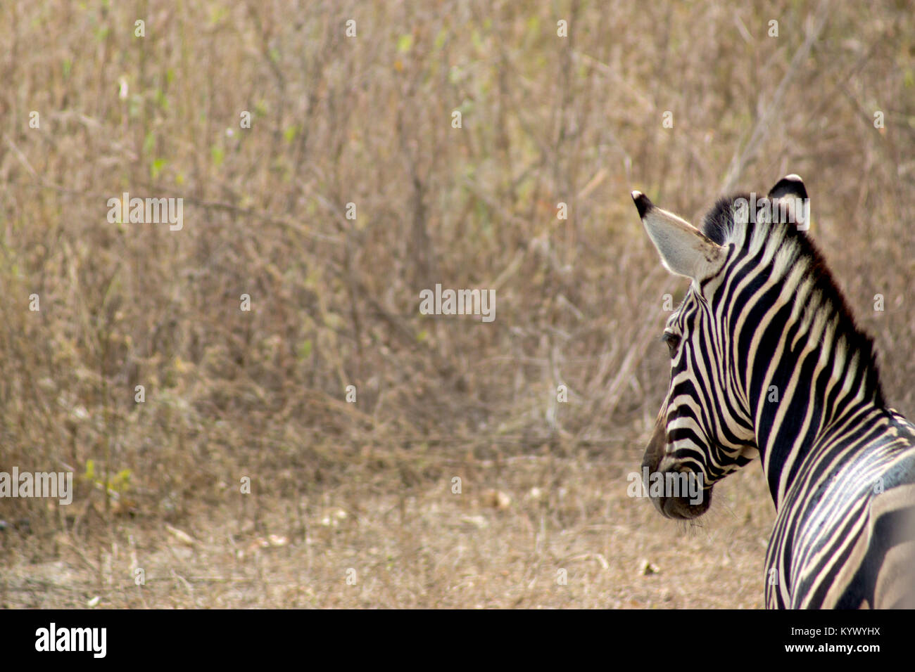 A zebra in Foundiougne, Senegal - Stock Image