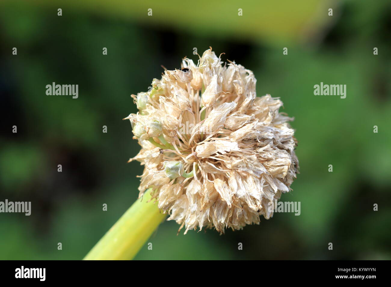Drying Spring Onion Flower Stock Photos Drying Spring Onion Flower