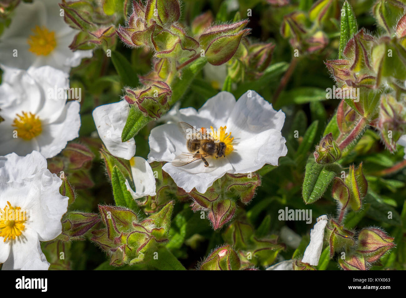 Bumble Bee Collecting Pollen On Small White Flower With Bright