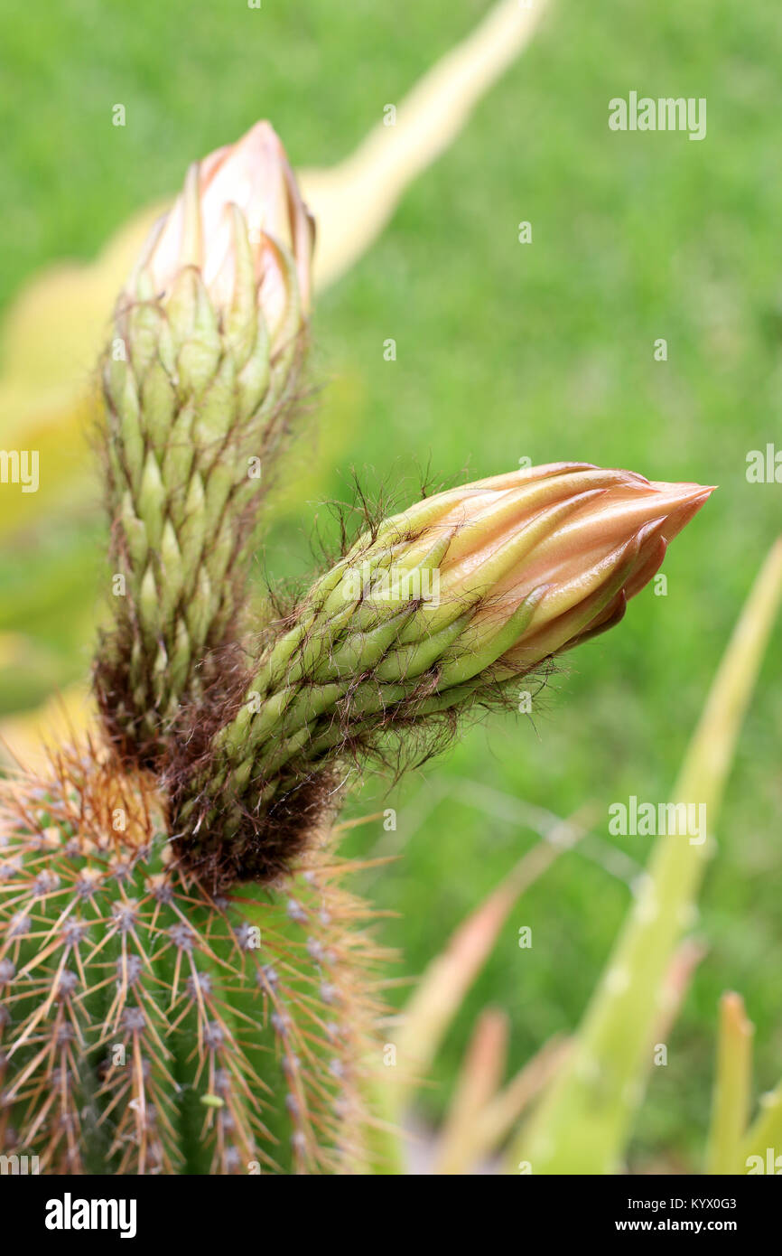 Close up shot of Echinopsis spachiana Cactus with flowers - Stock Image