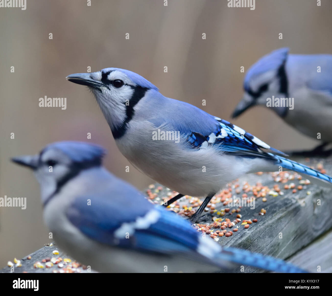 Blue Jay Nest Stock Photos & Blue Jay Nest Stock Images - Alamy