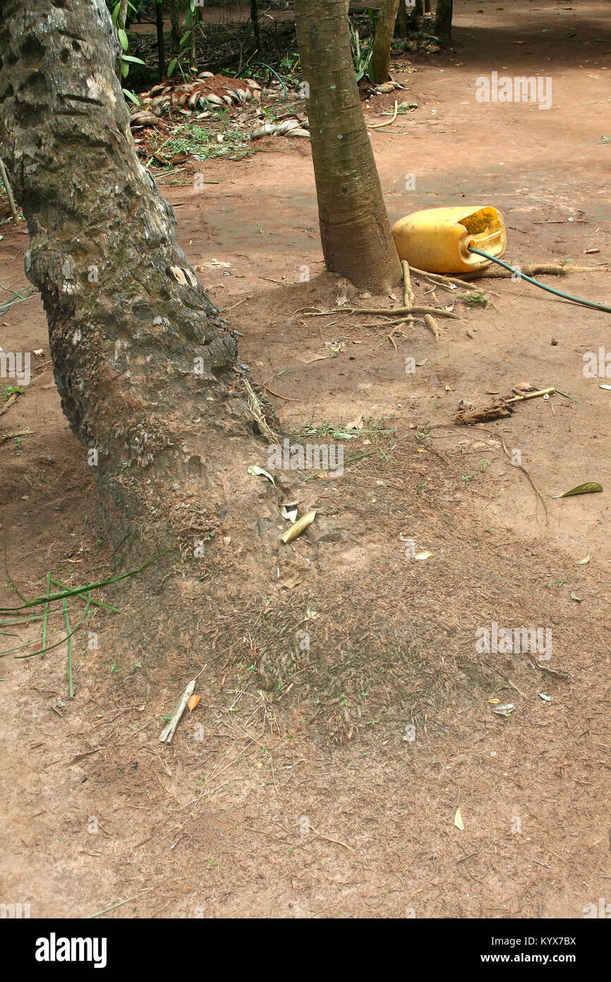Durian fruit tree trunks and petrol bottle, Zanzibar, Tanzania. - Stock Image