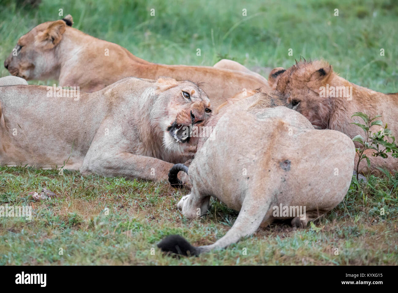 A pride of lions feeding on a kill, one female snarling, early morning, high ISO image, Valley camp Mara Naboisho Stock Photo