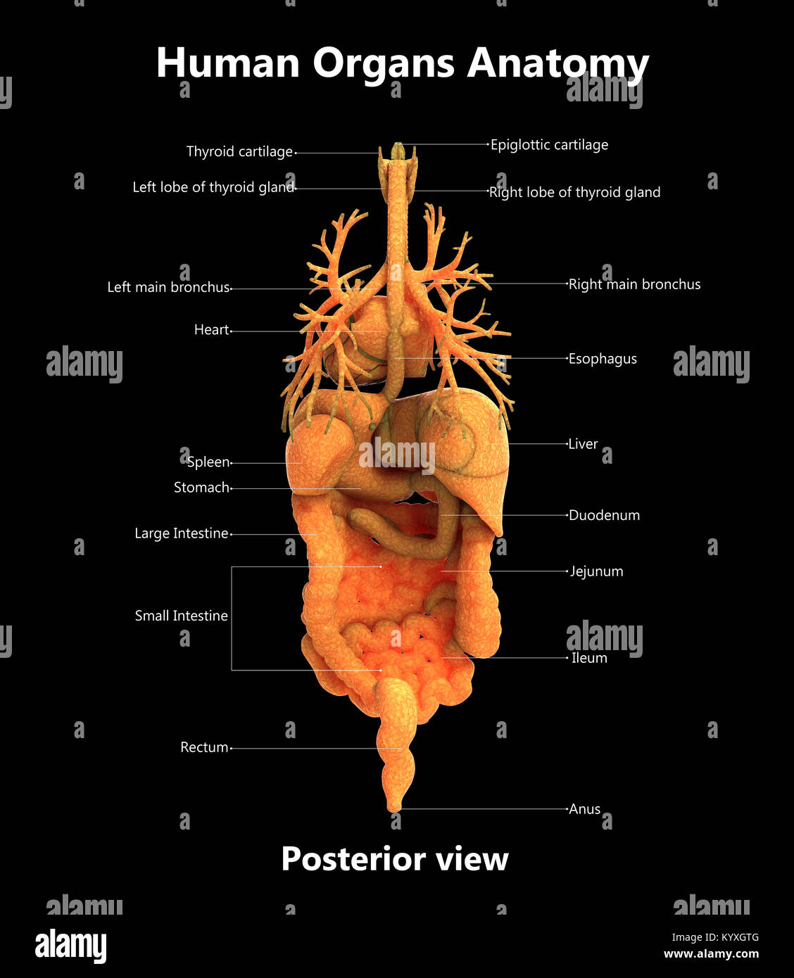 Human Body Organs Label Design Posterior view Anatomy Stock Photo ...