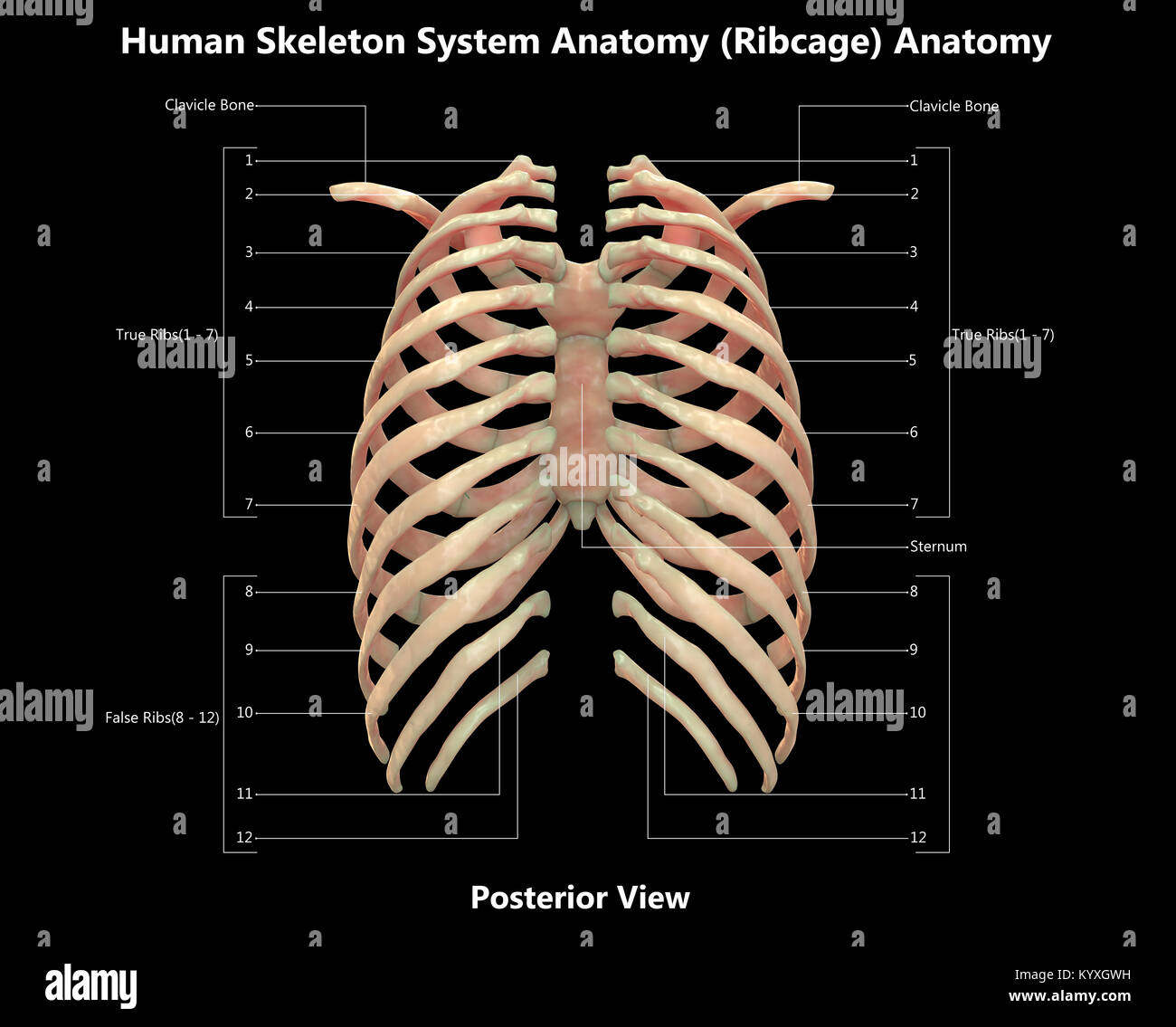 Human Skeleton System Rib Cage Label Design Posterior View Anatomy ...