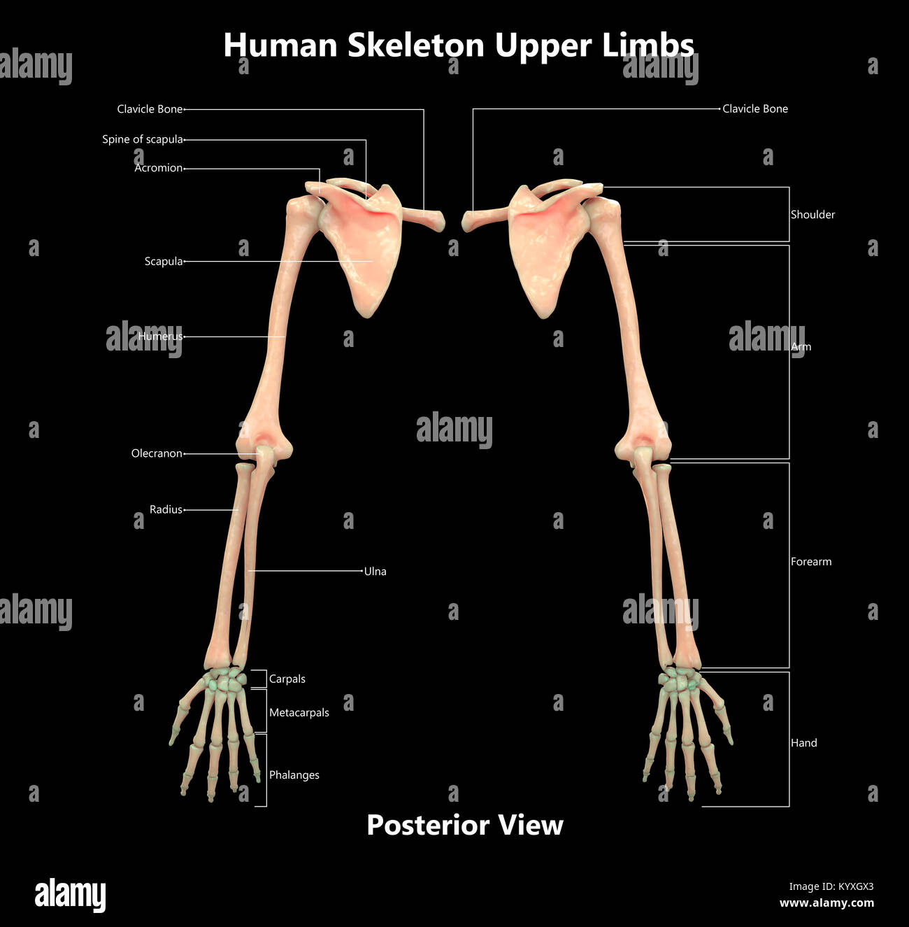 Human skeleton system upper limbs label design posterior view human skeleton system upper limbs label design posterior view anatomy ccuart Image collections